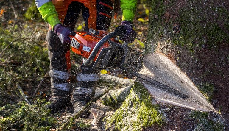 Närbild på trädfällning med motorsåg.