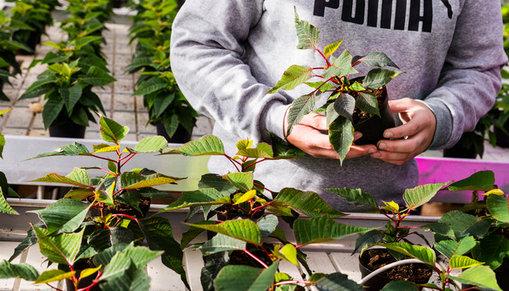 Rader av krukväxter i ett växthus och en elevs händer som håller i en kruka.