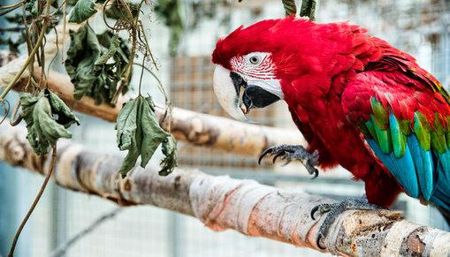 En röd papegoja med inslag av grönt och blått sitter på en gren.