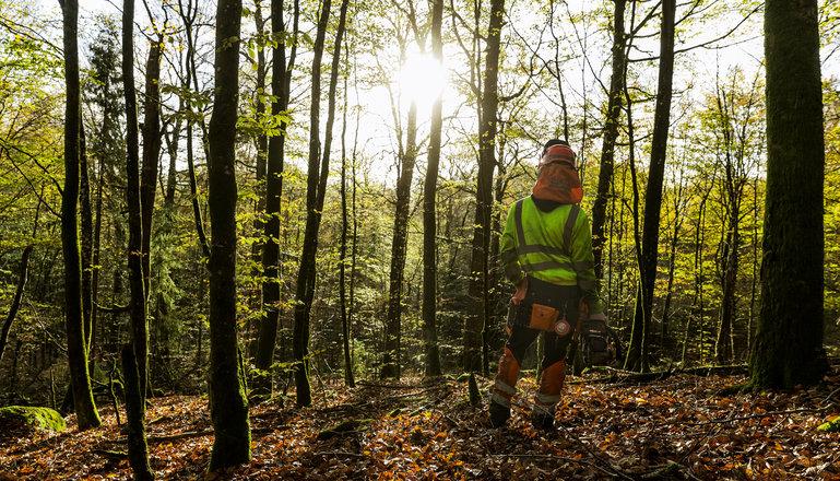 En skogsarbetare med motorsåg sedd bakifrån i en lövskog i motljus.