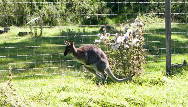 En wallaby som skuttar i hagen.