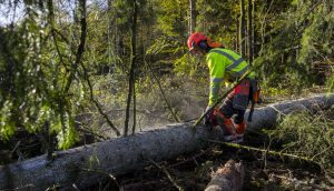 En skogselev kvistar en granstam med motorsåg.