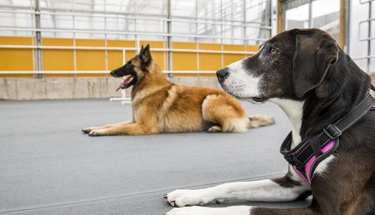 Två hundar i hundhallen.