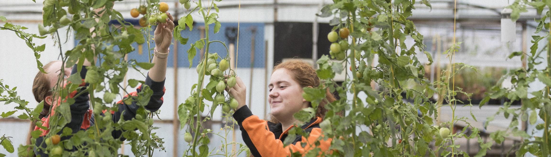 Två personer skördar tomater i ett växthus.