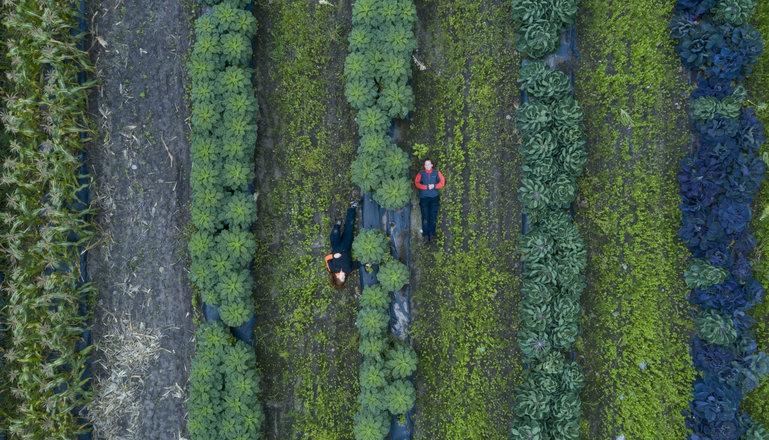 Flygfoto över odling med växter i rader, mellan raderna ligger två personer.