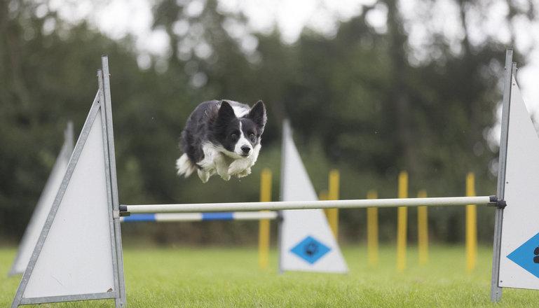 En hund hoppar över ett hinder.