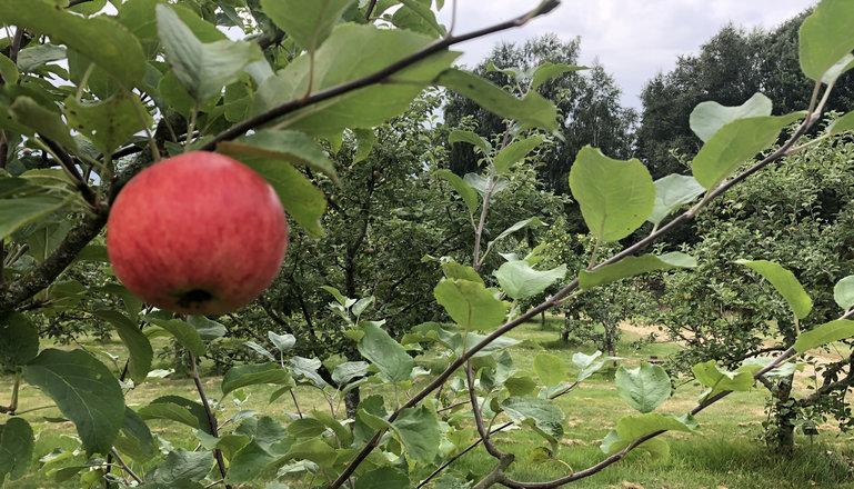 Ett rött äpple på en gren och flera äppelträd i bakgrunden.